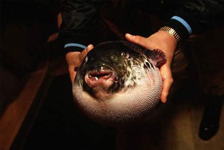 08_blowfish_lg
